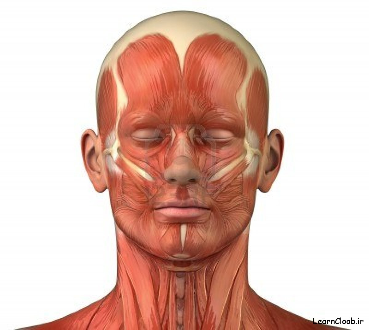 10084935-anatomy-of-head-muscles